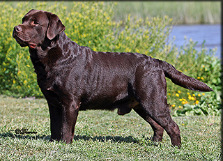 Labrador Retriever California