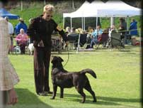 Show Dogs California Labrador Retrievers