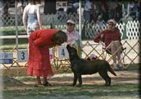 Dog Shows California Labrador Retrievers