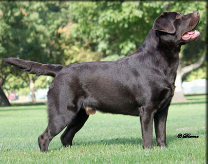 Champion Labrador Retriever Bentley