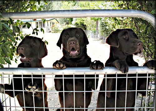 california chocolate labs