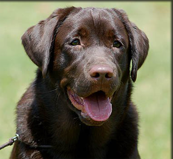 English chocolate labrador retriever standing