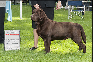 Show Quality Chocolate Lab